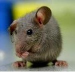 hr_pest_house-mouse_0_medium