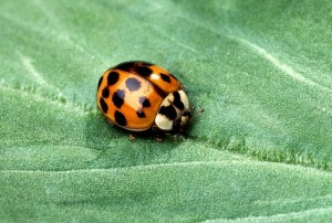 lady asian beetle