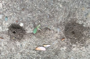 Pavement Ant Mounds